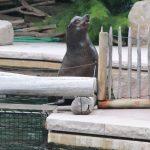 neugieriger Seelöwe
